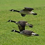meet_geese